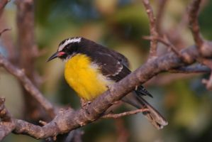 Bananaquit or Chibichibi (Photo: Frank Bierings)