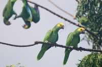 Yellow-shouldered parrot or Amazona barbadensis rothchildi