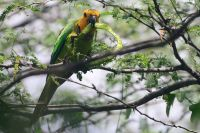 Brown-throated Parakeet or prikichi